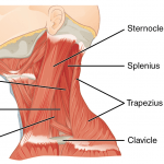 Neck - Muscles - 1117_Muscles_of_the_Neck_Left_Lateral